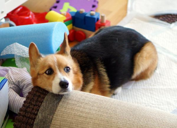 A tri-color corgi lying on the floor with her head resting on a rolled up rug.